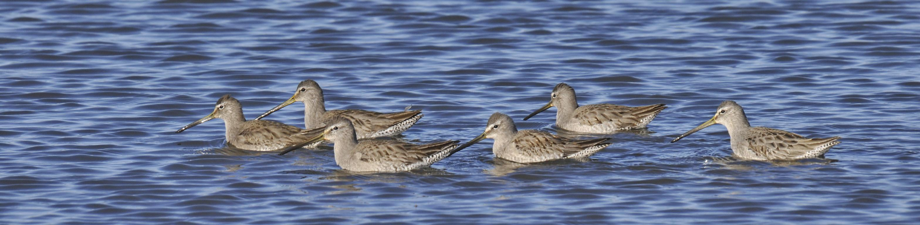 Chorus line of dowitchers