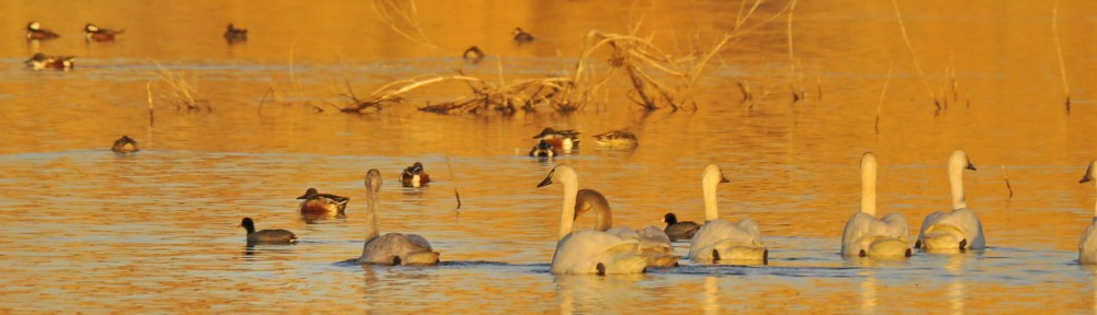 Tundra Swans and lesser fowl