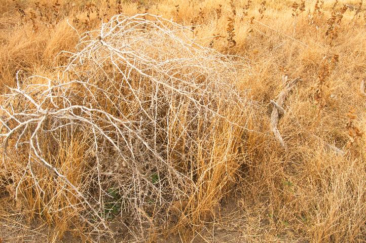 Dried tumbleweed