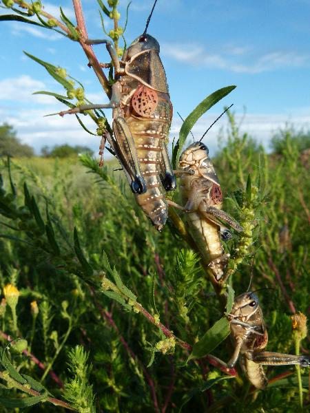Plains Lubber on Russian Thistle