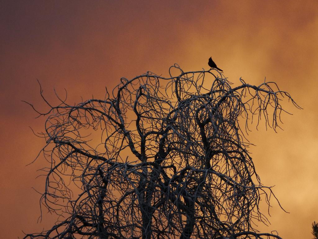 A Phainopepla sits atop a snag against the artificial sunset of the smoky sky