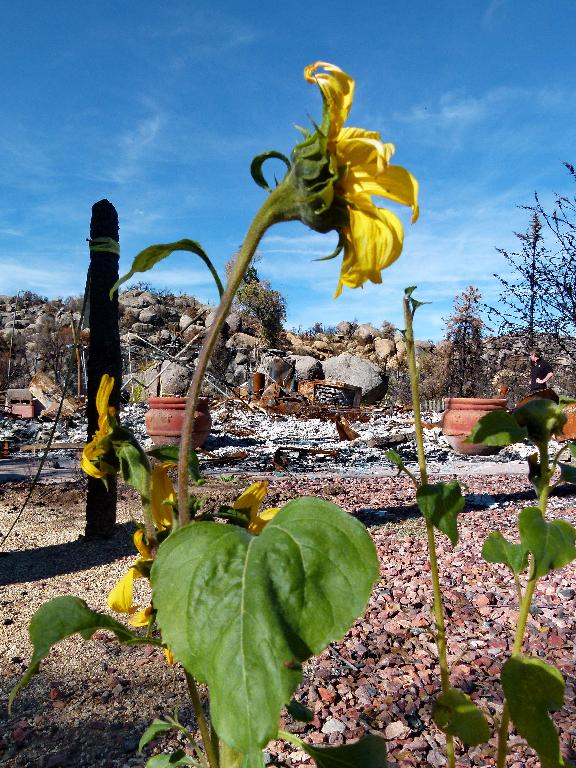 Sunflower blooming in the ruins