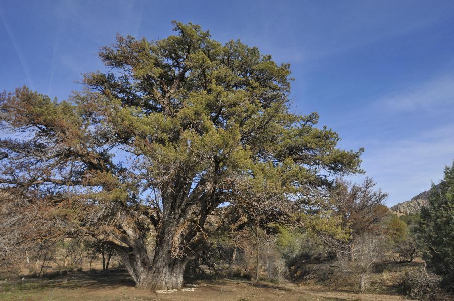 Ancient juniper at edge of Doce Burn