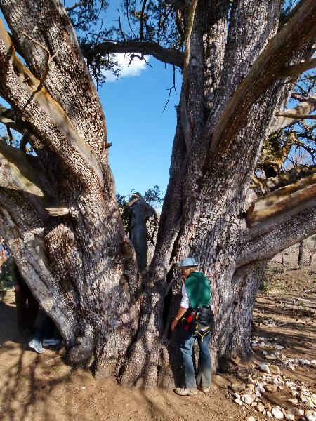 Paying homage to  ancient juniper
