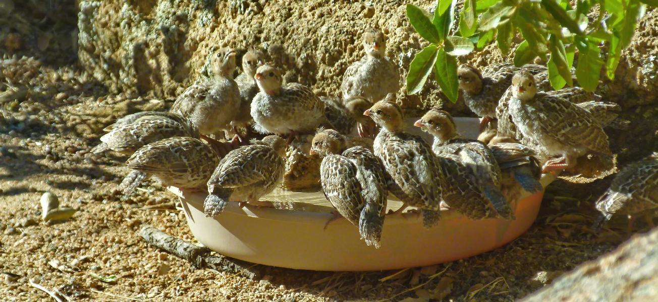 Quail brood at water dish