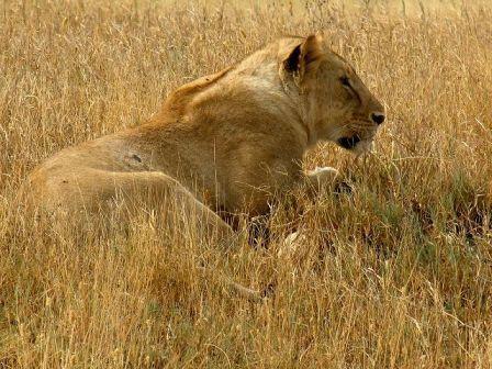 Lioness in Ngorongoro