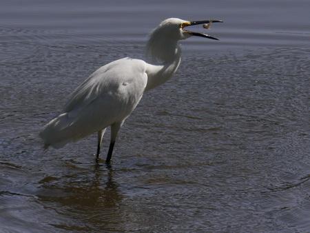 Snowy Egret, Rio Salado
