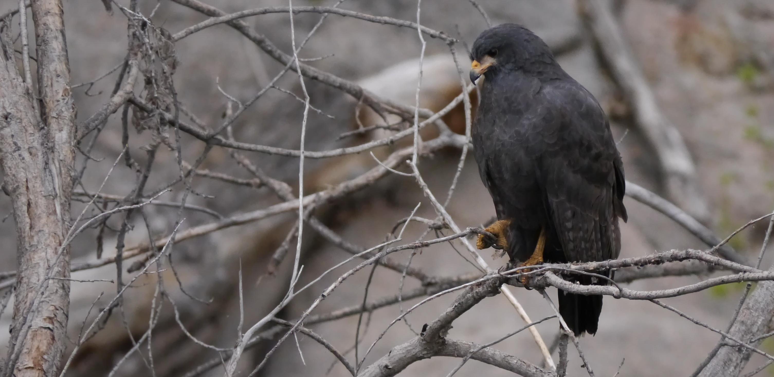 Common Black Hawk, Granite Creek
